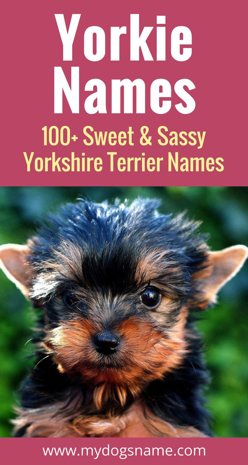 Yorkie puppies are so adorable, sweet and sassy. You can't give them just any dog name. They need a name perfectly picked for a Yorkshire Terrier.