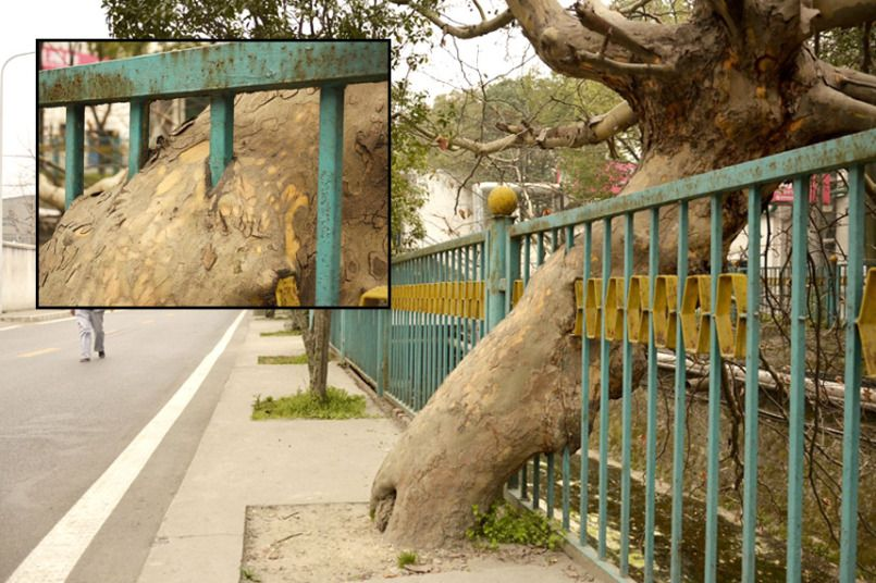 A tree has grown through a fence in Shiyan, central China's Hubei Province. Senior residents said the tree was planted in the 1980s and was several metres away from the fence. Two or three years later the iron bars needed to be re-installed and had to be put in the location where the tree was. The workers didn't have the heart to cut it down, so let it grow between two bars. Unexpectedly, the tree grew so fast that the trunk 'swallowed' and grew around four of the iron bars. People thought…