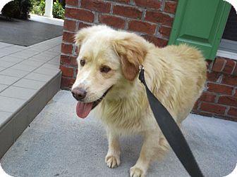 Delray Wv Golden Retriever Mix Meet Bubbie A Dog For Adoption