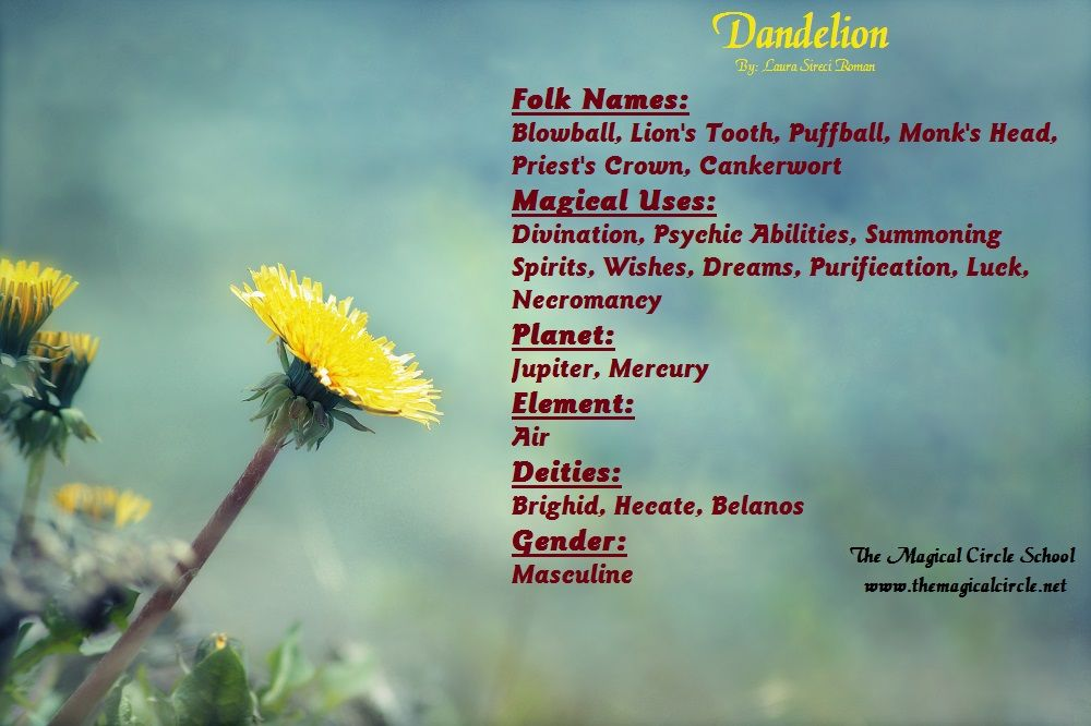 Dandelion Magical Properties The Magical Circle School Www Themagicalcircle Net Magical Herbs Magic Herbs Herbal Magic
