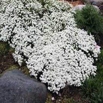 Amazon Com Outsidepride Candytuft Groundcover Seed 1000 Seeds Flowering Plants Patio Ground Cover Plants Ground Cover Landscaping With Rocks