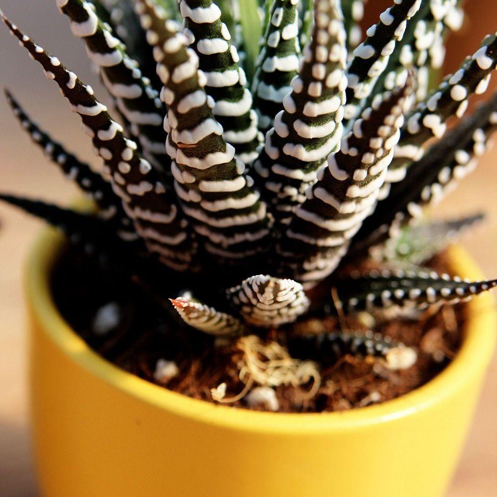 Kwiaty Egzotyczne Doniczkowe Rosliny Egzotyczne Do Domu Zielony Parapet S C Cacti And Succulents Landscaping Plants Cactus Plants