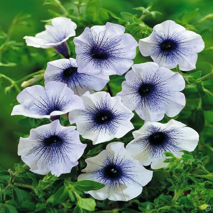 petunien blue spark 3 pflanzen g nstig online kaufen bestellen sie schnell und bequem online. Black Bedroom Furniture Sets. Home Design Ideas