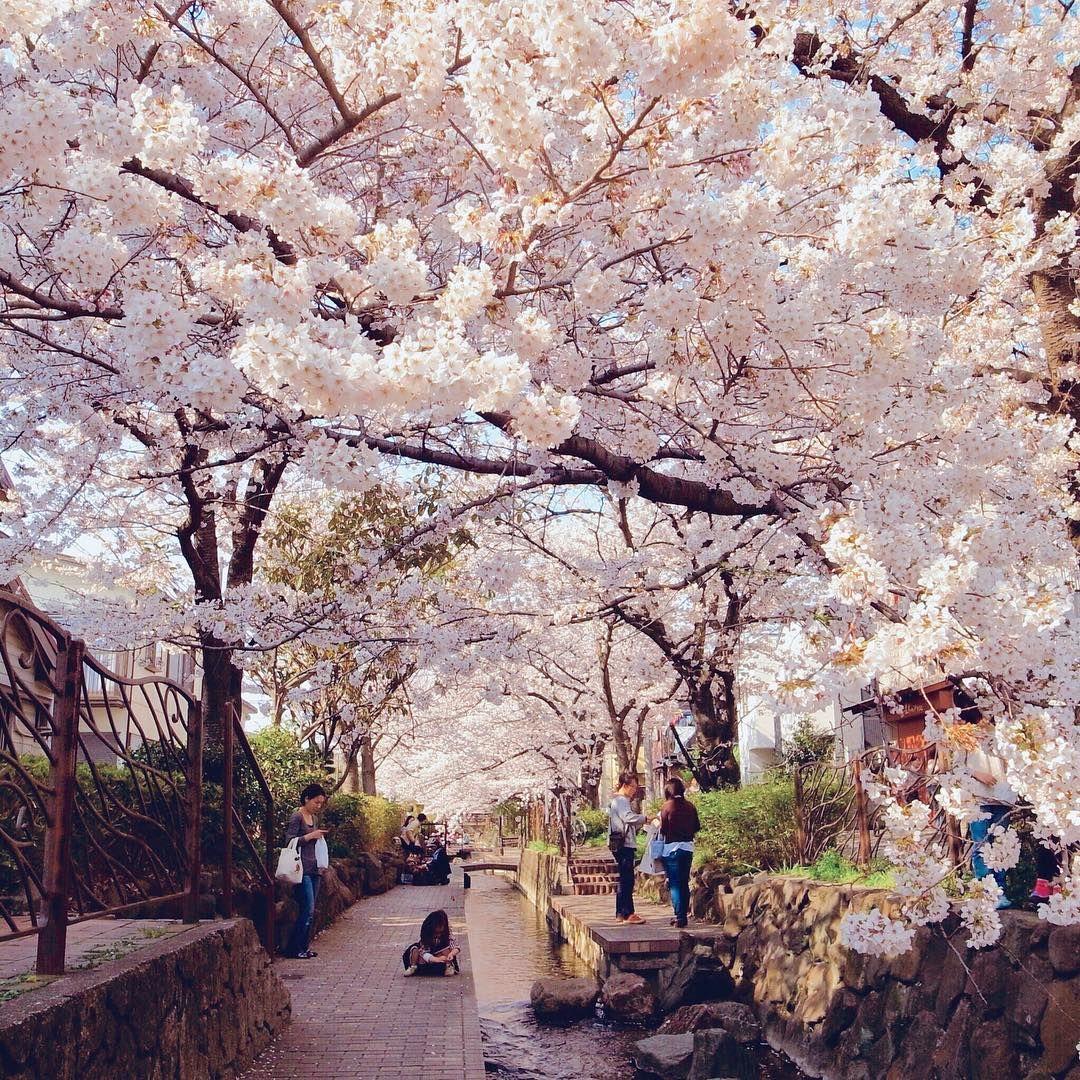 Sakura Japan Guide To Enjoy The Cherry Blossom Festival Spring 2021 Japan Cherry Blossom Season Japan Cherry Blossom Festival Cherry Blossom Festival