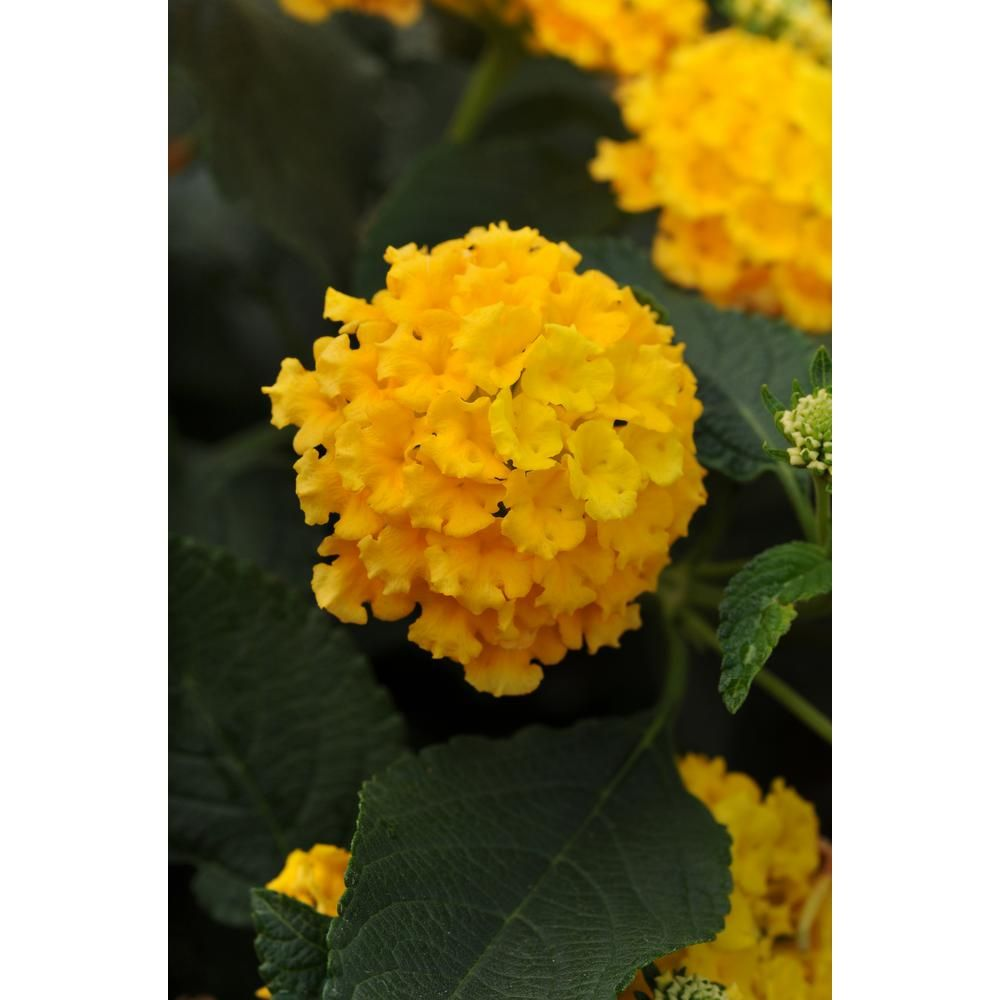 Costa farms 1 qt yellow lantana flowers in grower pot 12