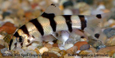 Botia Histrionica Golden Zebra Loach Live Aquarium Fish Tropical Fish Store Fish