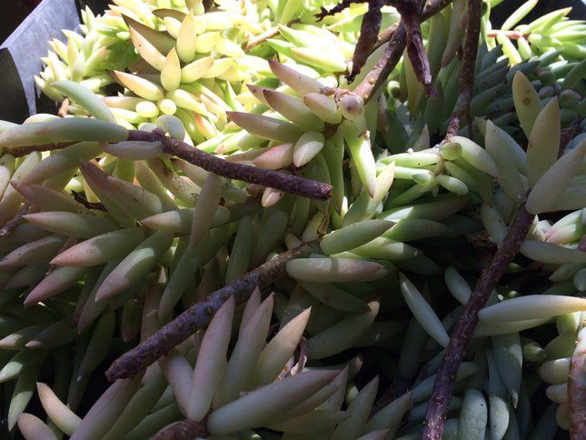 Succulents are among the easiest plants to propagate.