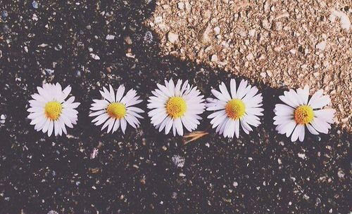 White Sunflower Wallpaper Tumblr YV0Oevoxm