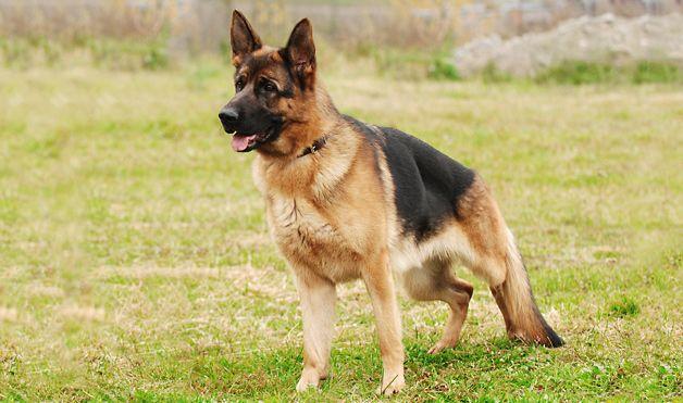 10 Amazing Animal Rescue Stories Dogs German Shepherd Dogs