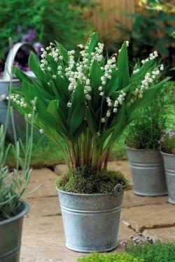 5 muguets g ants 39 bordeaux 39 lily vases. Black Bedroom Furniture Sets. Home Design Ideas