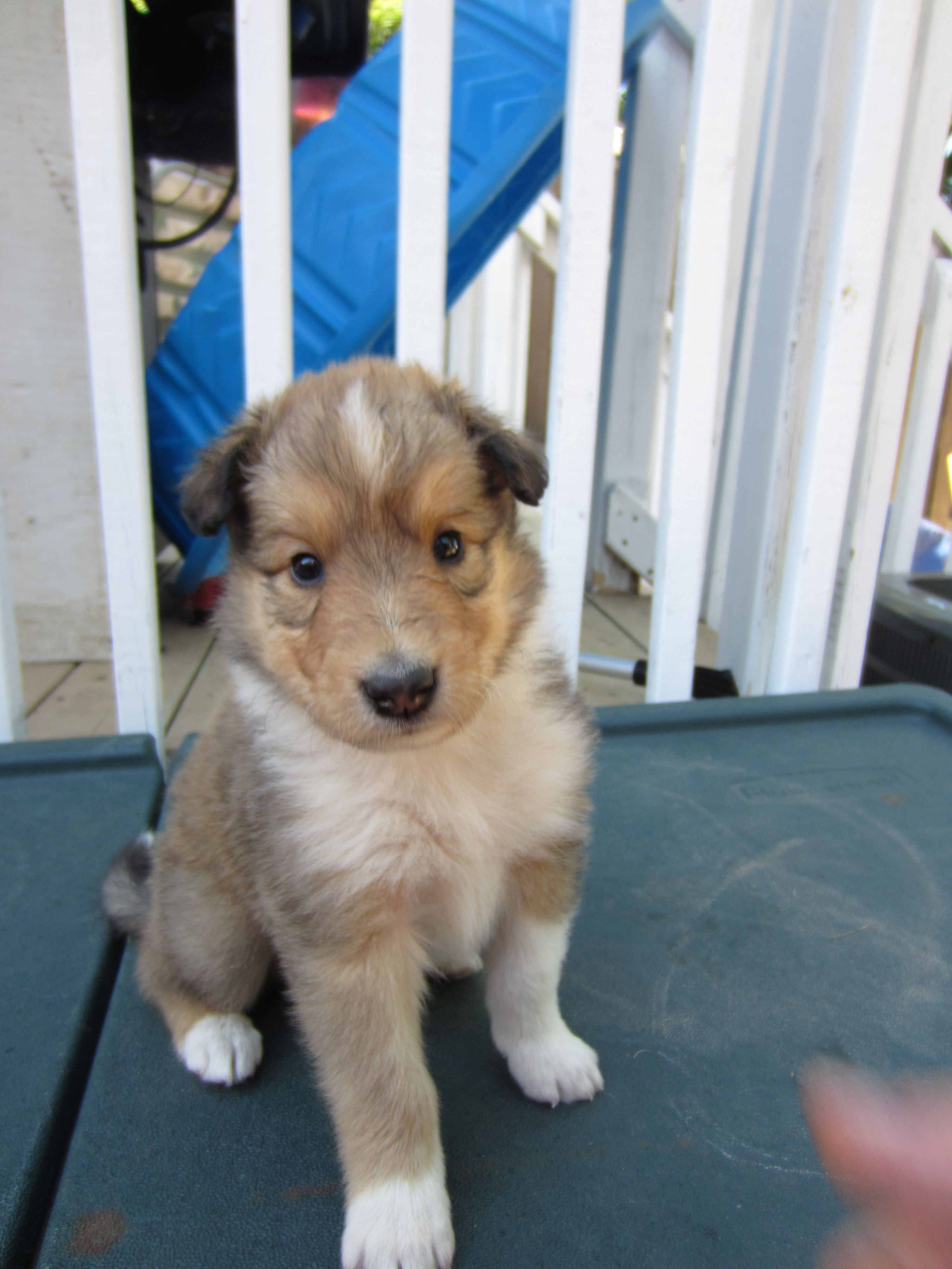Rough Collie Puppies For Sale 3 Boys And 2 Girls They Are From A Champion Line But Non Registered Litter Both P Rough Collie Puppy Puppies Cute Dogs Breeds
