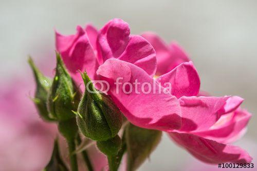 Closeup of beautiful pink rose