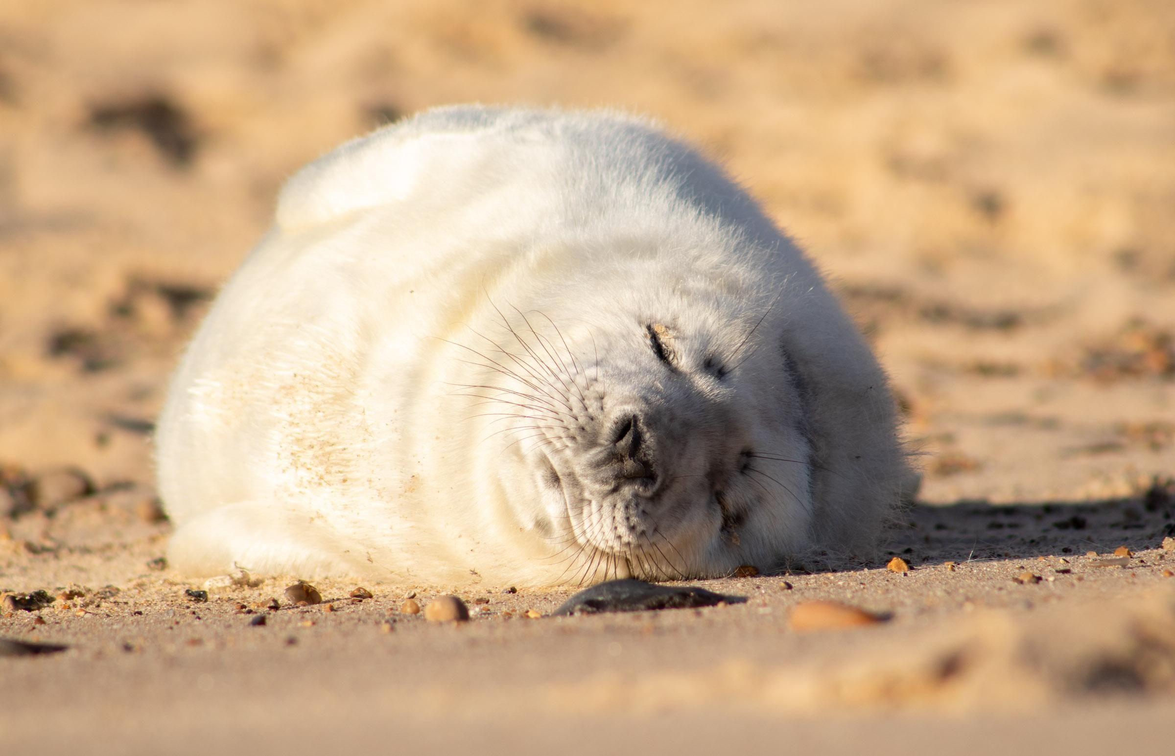 A Lazy Seal Oc 2400x1545 Lazy Animals Animals Animals Images