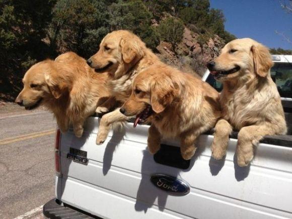 A Bunch Of Cute Golden Retrievers In The Pickup Truck Golden