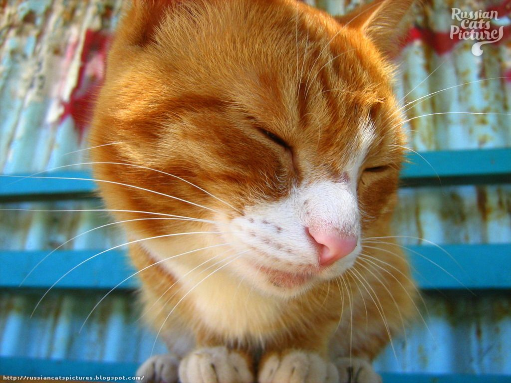 Orange Eyed Red Mackerel Tabby With White Happy Cat Looks