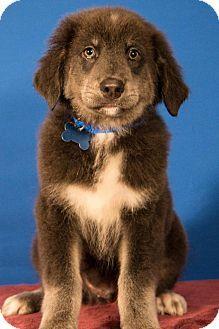 Australian Shepherd Mix Puppy for adoption in Berkeley