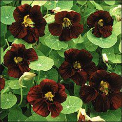 Black Velvet Nasturtiums
