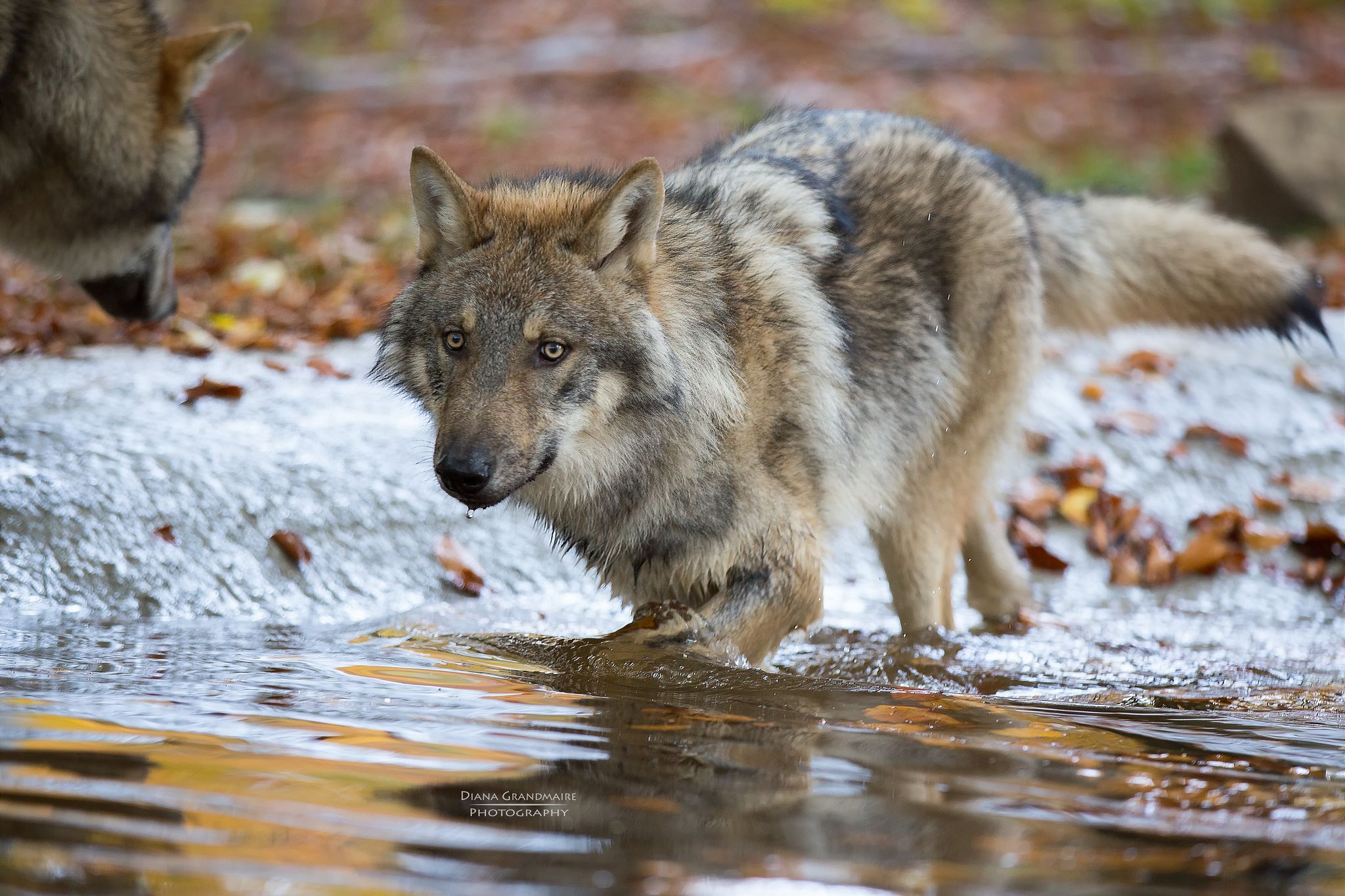 Pin By Rene Spaulding On Wildlife Beautiful Dogs Beautiful Wolves Wolf Best of pictures of gray wolves howling