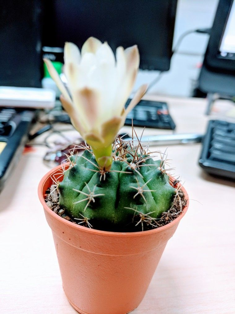 Simple Elegant My cute baby cactus 🌵 She was Bloom at 3pm but now back to kuncup again Lovely - Popular bloom baby Amazing