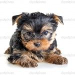 picture-of-yorkshire-terrier-dog-116