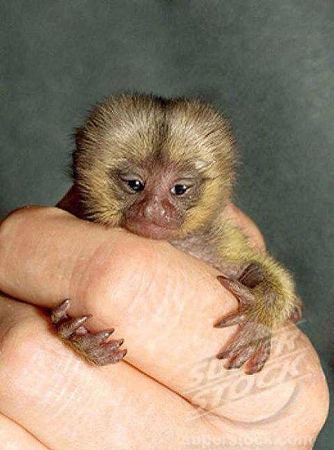 Tiny Monkey Finger Monkey Pygmy Marmoset Tiny Monkey Cute Monkey