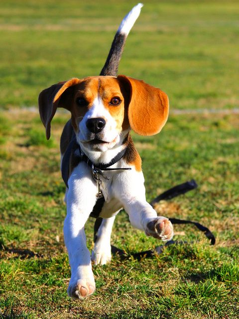 Herman Running By Scott Domeyer Cute Animals Beagle Breeds Pets