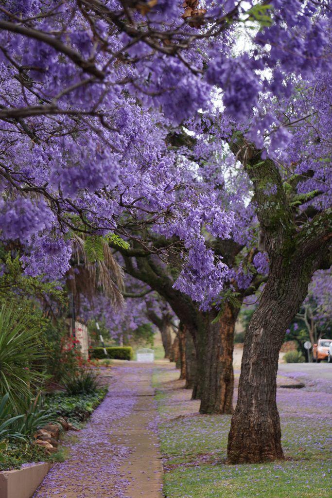 Jacaranda Trees | Jacaranda tree, Beautiful landscapes, Beautiful tree
