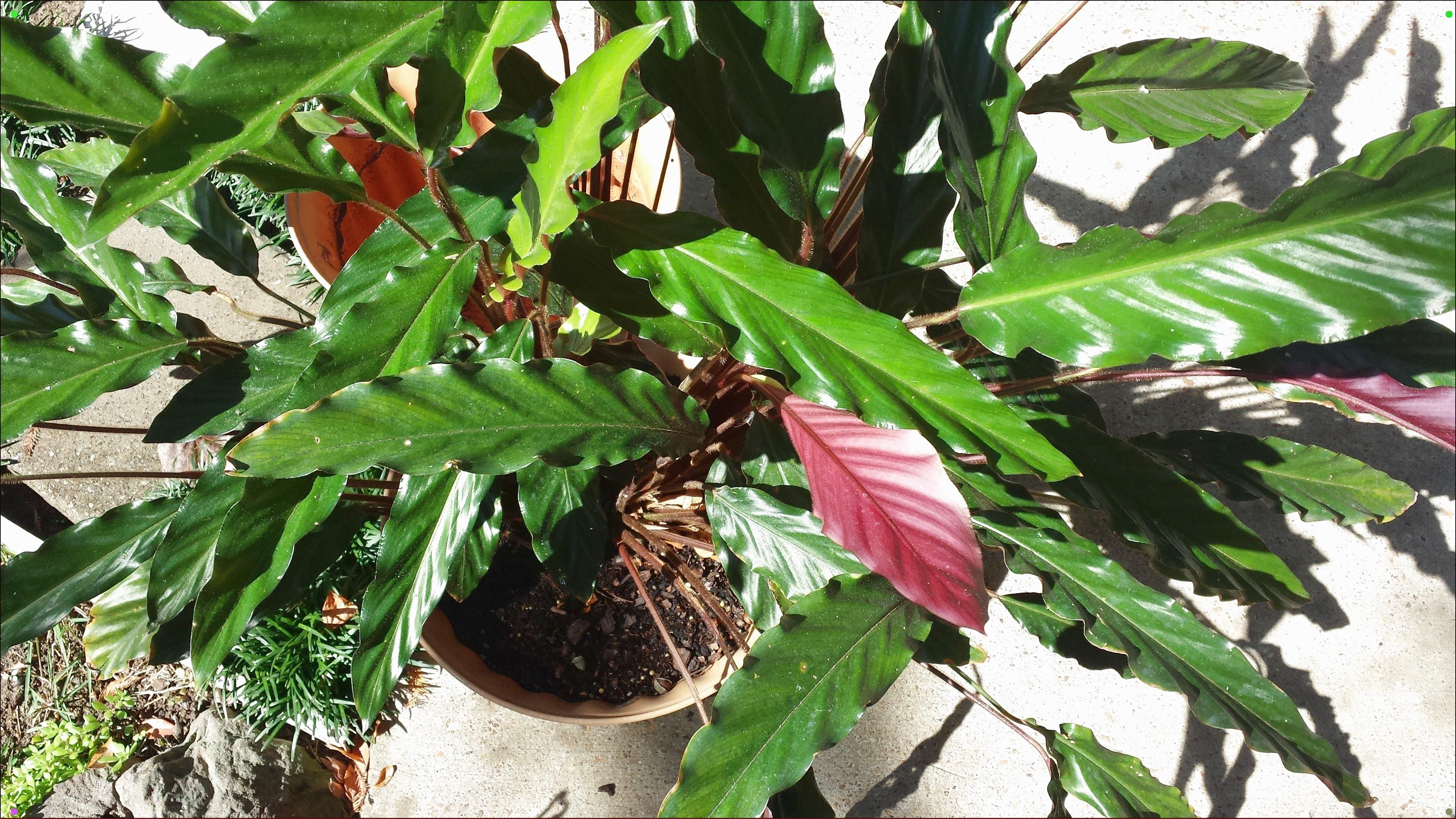 Narrow, Rippled, Green Philodendron Narrow Unusual But