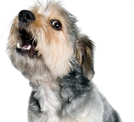 How To Stop Your Shih Tzu From Barking Dog Obedience Dog Barking Aggressive Dog