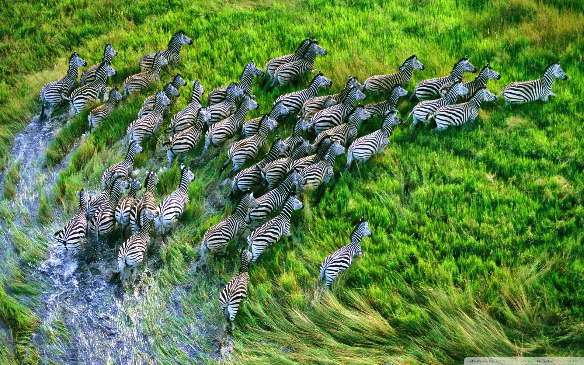Mac Os X Retina Zebras HD desktop wallpaper High Definition