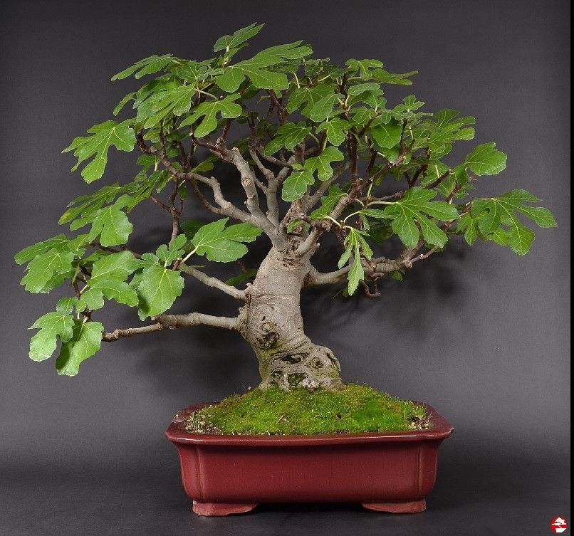 indoor subtropische bonsai ficus carica echter. Black Bedroom Furniture Sets. Home Design Ideas