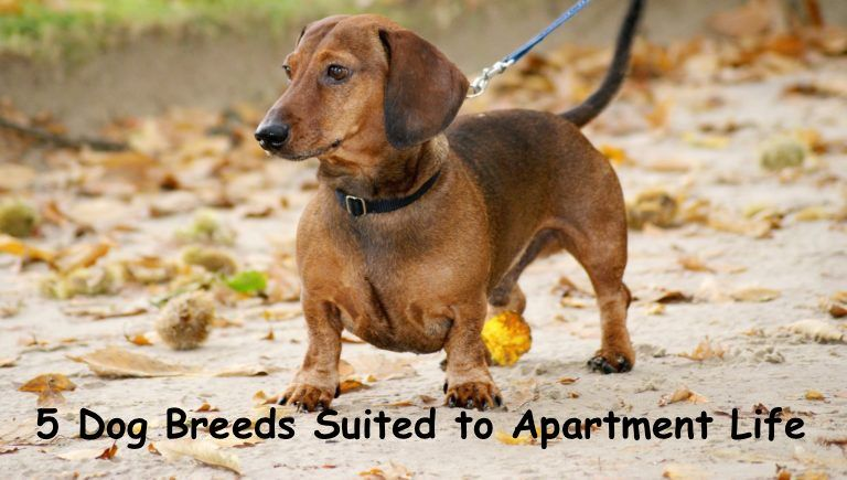 Dog Breeds Suited To Apartment Life Dogs Health