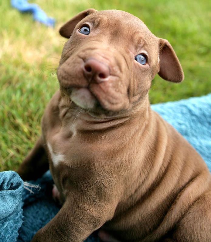 Brown Pitbull With Blue Eyes With Images Pitbulls Cute