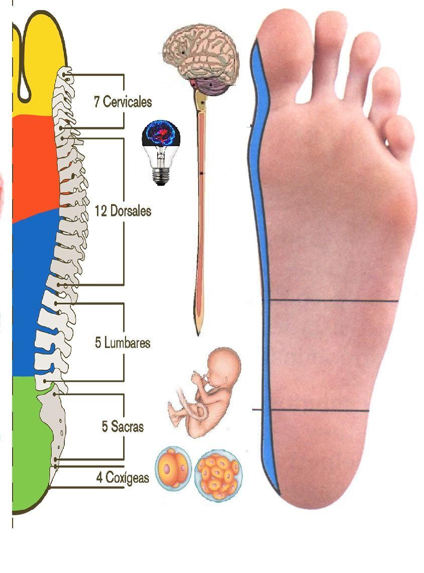 Reflexología Evolutiva Embrionaria (Trabajando la Médula Espinal ...