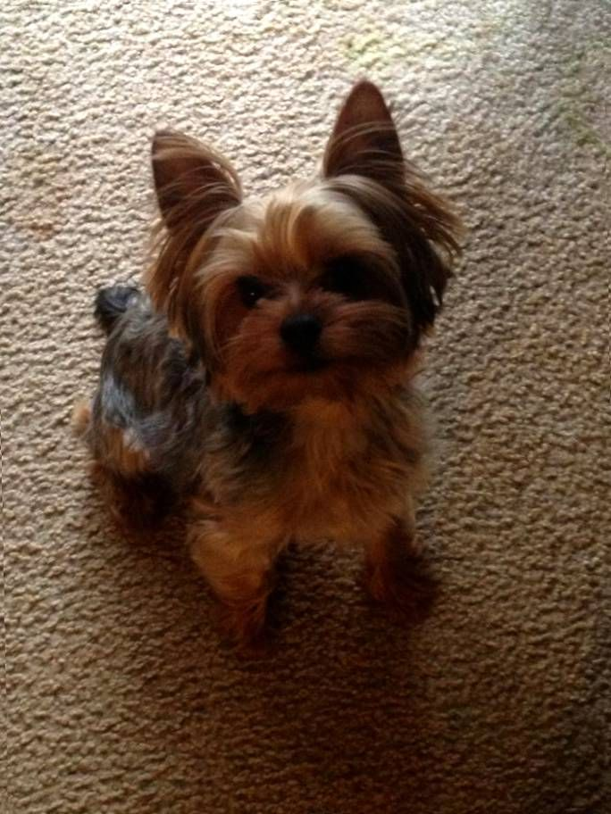 Toy Yorkie Long Hair Toy Yorkie Haircuts Yorkie Pinterest
