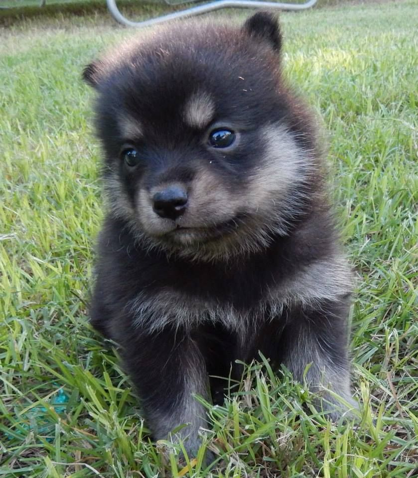 Pomeranian pitbull mix - photo#53