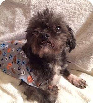 Rockaway Nj Shih Tzu Mix Meet Xp Ande Morris County Nj A Dog For Adoption Http Www Adoptapet Com Pet 12365717 Rockawa Pets Shih Tzu Mix