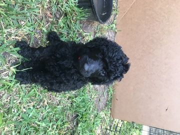 Litter Of 8 Poodle Standard Puppies For Sale In Aledo Tx Adn