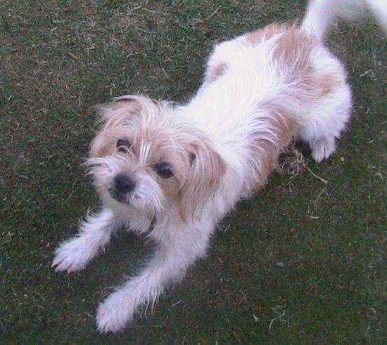 Silky Tzu Shih Tzu X Silky Terrier Mix Dog Info Temperament