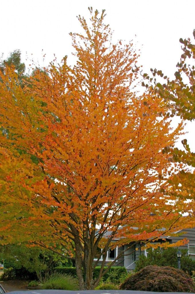 Katsura Tree Beautiful Fall Color And Fallen Leaves Smell Like Cotton Candy Or