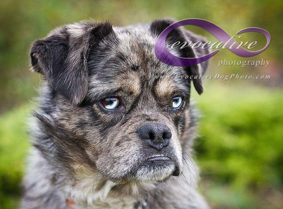 Image Result For Pug Blue Heeler Mix Blue Eyed Dog Heeler Mix