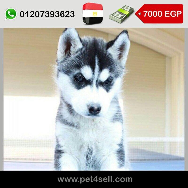 مصر القاهرة الجديدة كلب هاسكي ٥٥ يوم Pet4sell Dogs Animals Husky