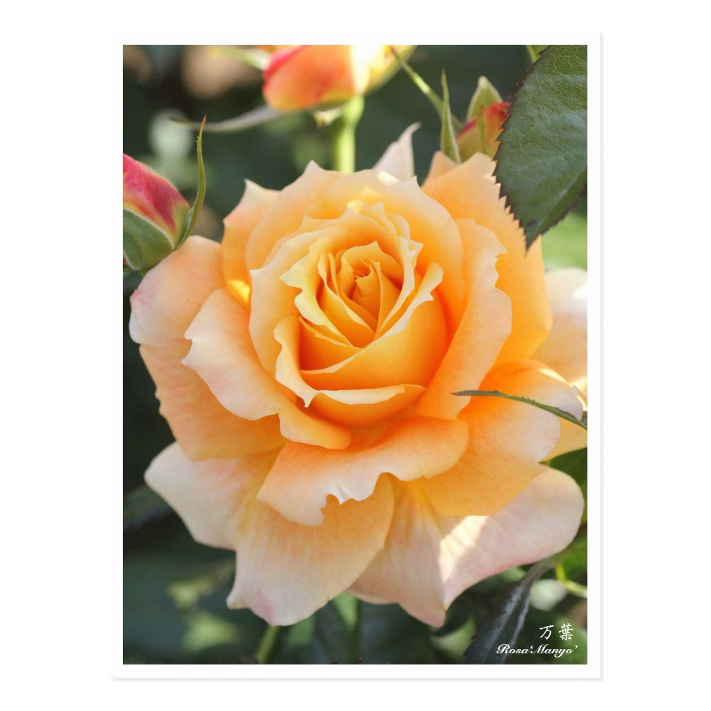Rosa ` Manyo' (ten thousand leaves) (Floribunda rose) This post card is the second version. (It is re-adjust the depth of brightness and color.)