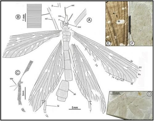 Camera lucida drawings of J. ginkgofolia  (c)2012 PNAS,  (Phys.org)—Researchers working in China have discovered an insect that lived 165 million years ago that they believe used its wings to mimic the leaves of an ancient ginkgo tree. The fossil finding, the team writes in their paper published in the Proceedings of the National Academy of Sciences, is one of the few that shows that early insects mimicked non-flowering plants millions of years before doing so with angiosperms.
