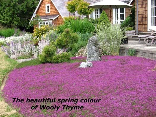 Carpet Of Thyme Campaign For Pesticide Reduction Maple