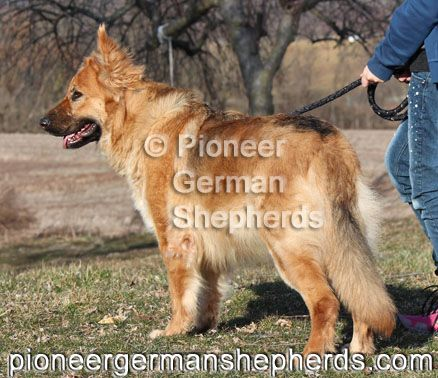 Black And Tan With A Faded Saddle Female Large German Shepherd