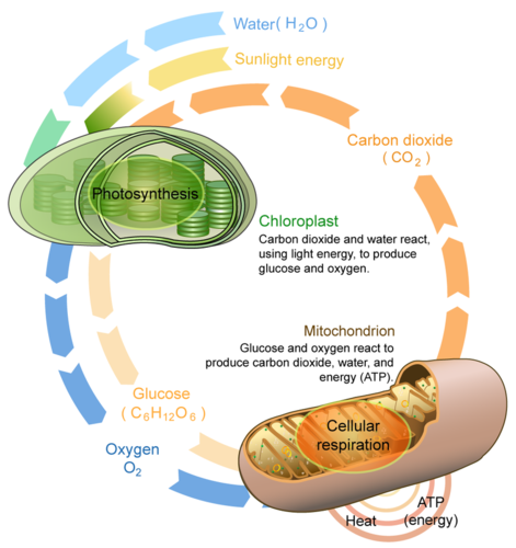 Cellular respiration and photosynthesis are direct
