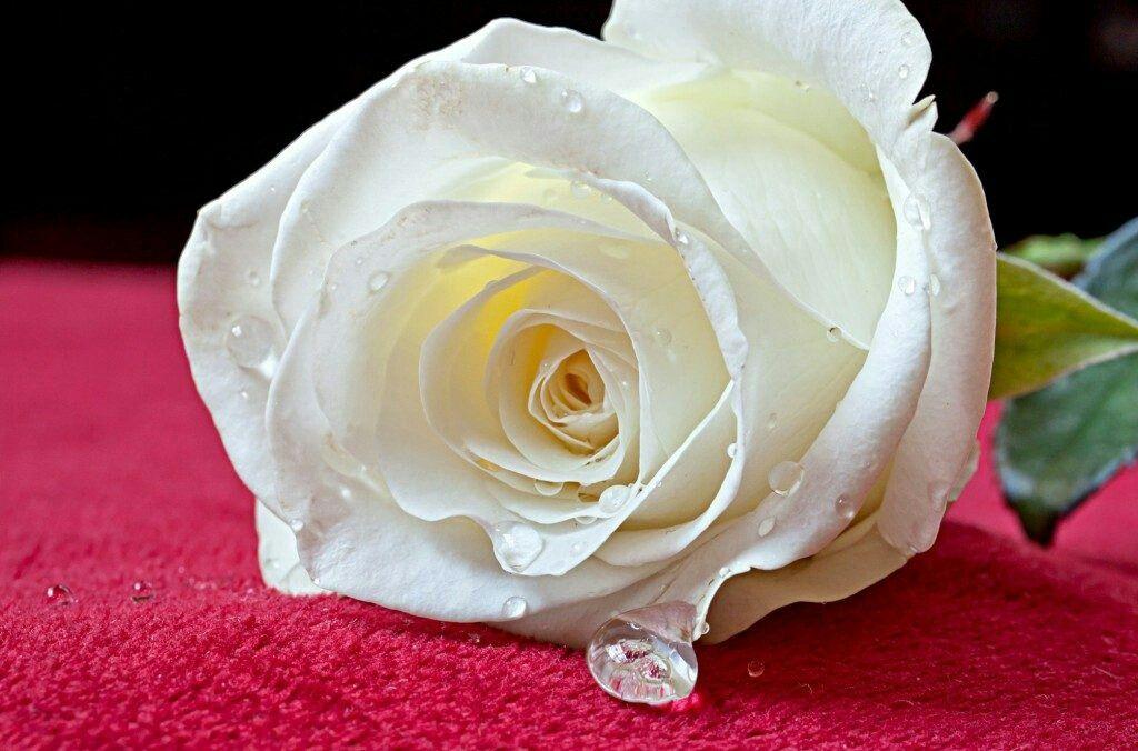 Pin By عاشق الورد الأبيض On Flowers White Rose Flower White Roses Rose Images Hd