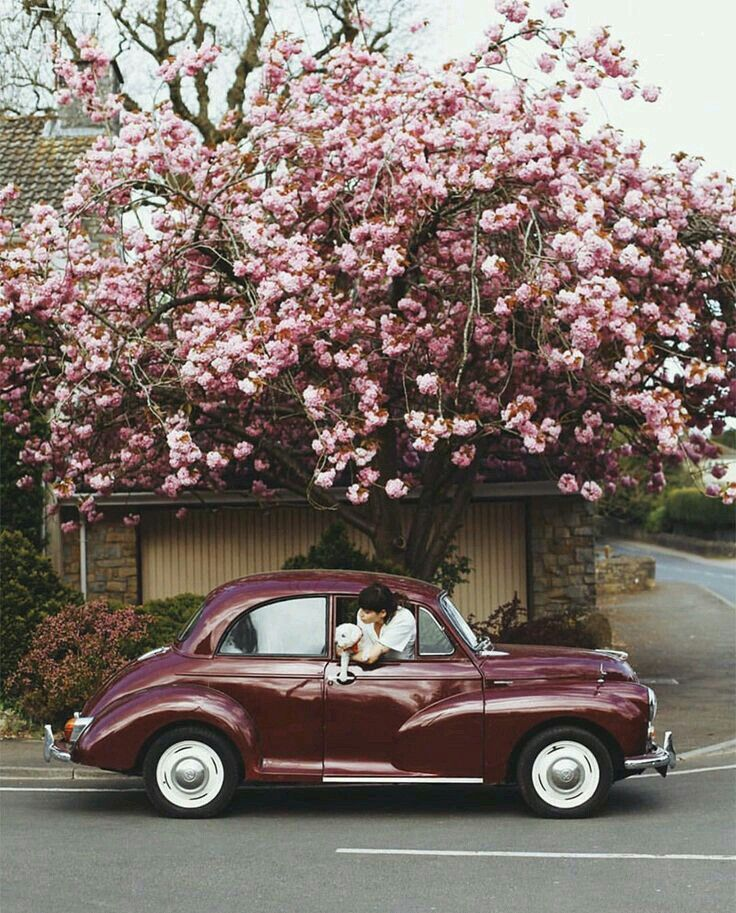 Pretty Pink Cherry Blossom Tree Cute Cars Photography Pictures