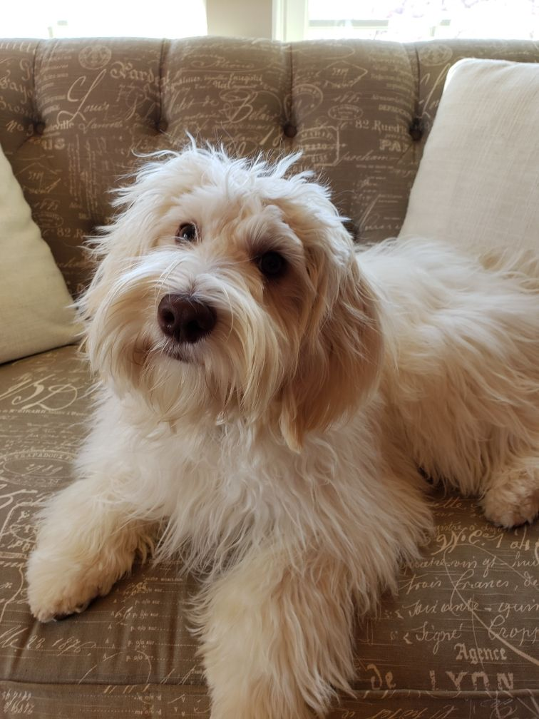Labradoodle Puppies For Sale In Va Providence Hill Australian Labradoodles Llc Labradoodle Puppy Labradoodle Puppies For Sale Puppies For Sale